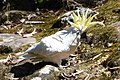 (1)Sulphur crested cockatoo-1.jpg