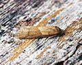 (1025) Tortricodes alternella - Flickr - Bennyboymothman.jpg