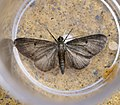 (1837) Grey Pug (Eupithecia subfuscata) (34987788875).jpg
