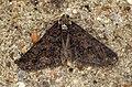 (1932) Spring Usher (Agriopis leucophaearia) (6906241313).jpg