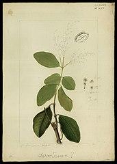 (Amaranthaceae)