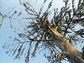 (Caryota urens) Palm tree at Shivaji Park 05.JPG