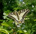 (Papilio machaon). Swallowtail - Flickr - gailhampshire.jpg