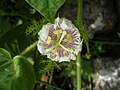 (Passiflora foetida) flower at Alwal railway station 03.JPG