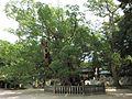 Ōyamazumi-jinja kusunoki (Ochinomikoto).JPG
