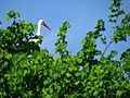 Аист на липе. Stork on the linden. - panoramio.jpg
