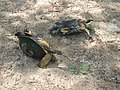 Европейская болотная черепаха.2.jpg