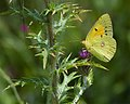 Желтушка шафрановая - Dark Clouded Yellow or Common Clouded Yellow - Colias croceus - Жълтушка - Postillon (15668092926).jpg