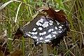 Навозник смолистый - Coprinopsis picacea - Magpie fungus - Копринка C. picaceus - Specht-Tintling (22897952866).jpg