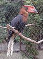 Огненный гомрай (Penza Zoo 2016).jpg