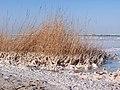 Соляные отложеня побережья Мертвого моря - panoramio.jpg
