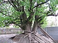 Старовинна груша на Карнаватці 11.jpg