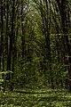 Теліженецький ліс DSC 0053.jpg
