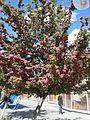Цвітіння глоду (Crataegus laevigata).jpg