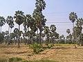 ต้นตาล - panoramio - SIAMSEARCH.jpg