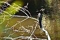 นกกาน้ำ ผากล้วยไม้ อุทยานแห่งชาติเขาใหญ่.jpg