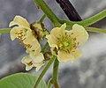 中華獼猴桃 Actinidia chinensis -武漢植物園 Wuhan Botanical Garden- (9216067150).jpg