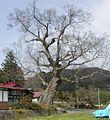 八幡のケヤキ - panoramio.jpg