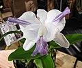 卡特蘭屬 Cattleya intermedia v coerulea aquinii x nobilior v coerulea -香港蘭花節 Hong Kong Orchid Festival- (39710837140).jpg