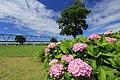 小岩菖蒲園 - panoramio (5).jpg