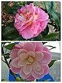 怒江山茶雜交 Camellia x williamsii cultivars -深圳園博園茶花展 Shenzhen Camellia Show, China- (38401509025).jpg