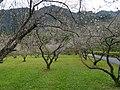 新生村梅園 Xinsheng Village Plum Garden - panoramio (1).jpg