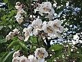 梓樹 Catalpa ovata -倫敦植物園 Kew Gardens, London- (9227119713).jpg