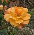 玫瑰 Rosa Souvenir d'Anne Frank -日本廣島和平紀念公園 Hiroshima Peace Memorial Park, Japan- (35622414561).jpg