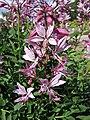 白鮮屬 Dictamnus albus v purpureus -波蘭華沙 Powsin PAN Botanical Garden, Warsaw- (35837112113).jpg