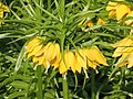 皇冠貝母 Fritillaria imperialis Lutea -荷蘭 Keukenhof Flower Show, Holland- (9213323249).jpg