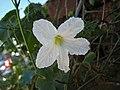 紅瓜 Coccinia grandis -馬來西亞檳城 Penang, Malaysia- (24383764379).jpg