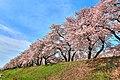 舟川の桜 - panoramio (6).jpg