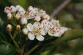 野櫻莓花.png