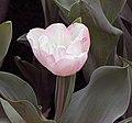 鬱金香 Tulipa gesneriana -香港花展 Hong Kong Flower Show- (9190646955).jpg