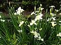 鳶尾 iris - panoramio (1).jpg