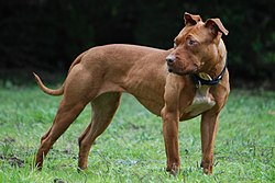 A Liver Pit Bull Terrier