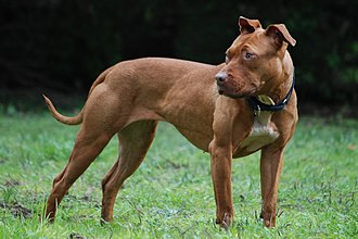American Pit Bull Terrier - A liver pit bull terrier