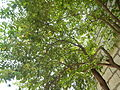 02922jfAverrhoa Tree Fruits carambolafvf 04.JPG
