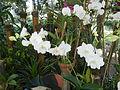 05593jfMidyear Orchid Exhibits Quezon Cityfvf 20.JPG