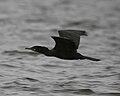 060402 neotropic cormorant in flight IB - Flickr - Lip Kee.jpg