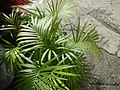 0998Ornamental plants in the Philippines 65.jpg