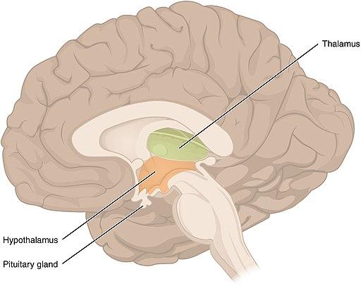 Mellanhjärnan - Diencephalon