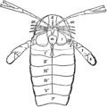 1911 Britannica-Arachnida-Pterygotus osiliensis.png