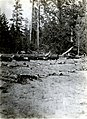1935. Special control experiment for Ips oregoni. Pringle Falls, Oregon. (38696712962).jpg
