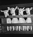 1960 Chèvre Saanens à Brouessy Cliché Jean-Joseph weber-1.jpg