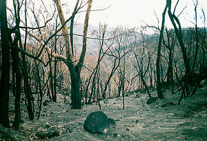 2003 Eastern Victorian alpine bushfires - Burnt out bushland near Anglers Rest on the Omeo Highway, one of the worst hit areas; similar devastation spread for thousands of square kilometres
