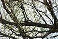 2010-04-05 (10) Grünspecht, (Eurasian) green woodpecker, Picus viridis.JPG