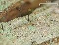 2011-06-21 Chaenotheca brunneola (Ach.) Müll. Arg 237882.jpg