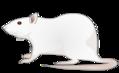 201109 rat.png
