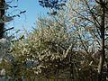 20120401Kirschbluete Neulussheim05.jpg